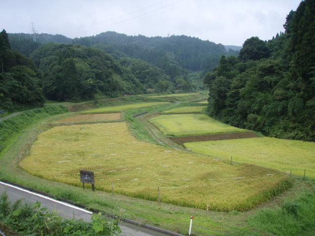 080907稲刈り01